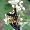 Double-banded scoliid wasp & Blue-winged wasp