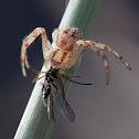 flower crab spider with prey