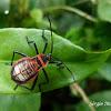 Large seed or milkweed bug  nymph
