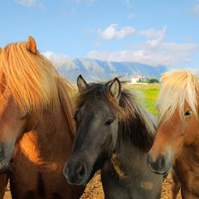 Icelandic horses by Anna Guðmundsdóttir - Animals Horses ( icelandic horses, horses, íslenskir hestar, hestar,  )