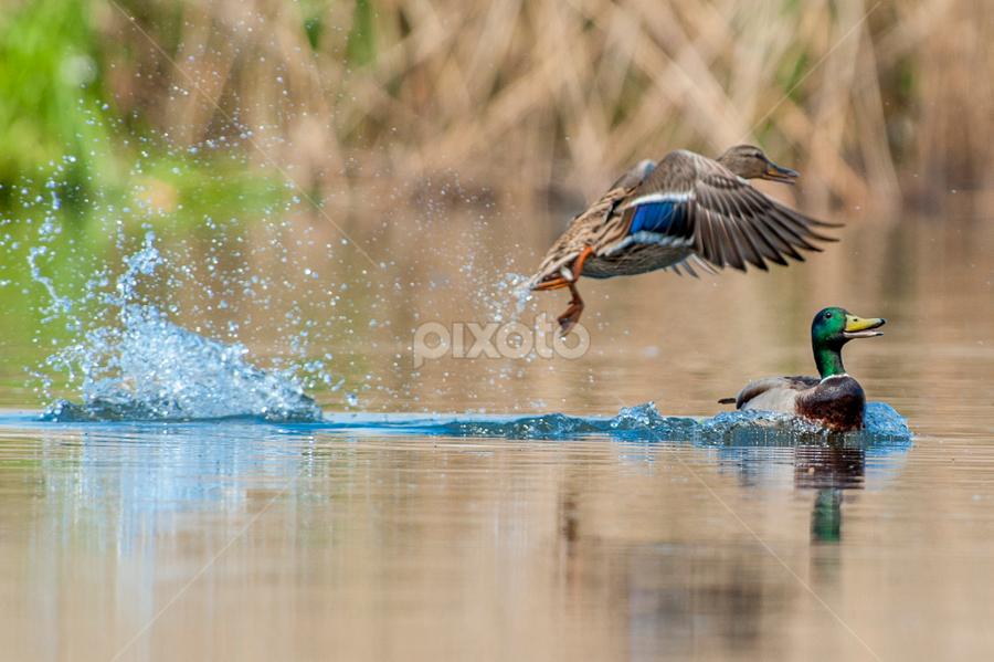 duck's splas by Riccardo Trevisani - Animals Birds ( riccardo trevisani, duck, wildlife )