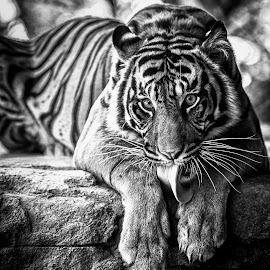 Tiger Tongue by Robby Ticknor - Black & White Animals ( big cat, cat, cleaning, tongue, meow, tiger, whiskers, lick,  )