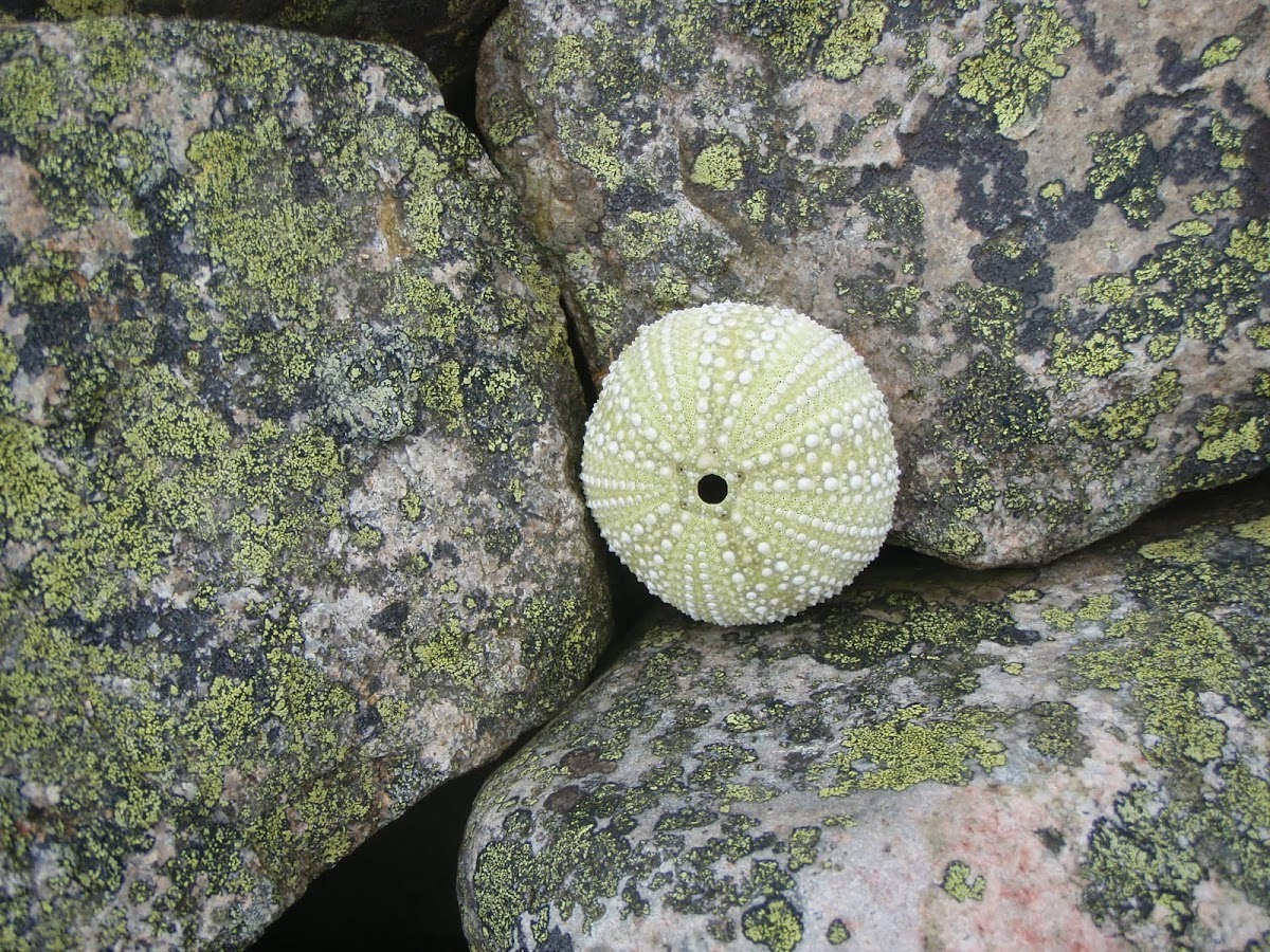 Green Sea Urchin-endoskeleton