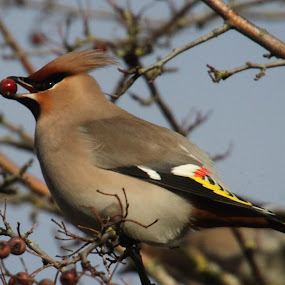 Waxwing by Mark Milham - Animals Birds ( bird, winter visitor, pegwell bay, ramsgate, waxwing )