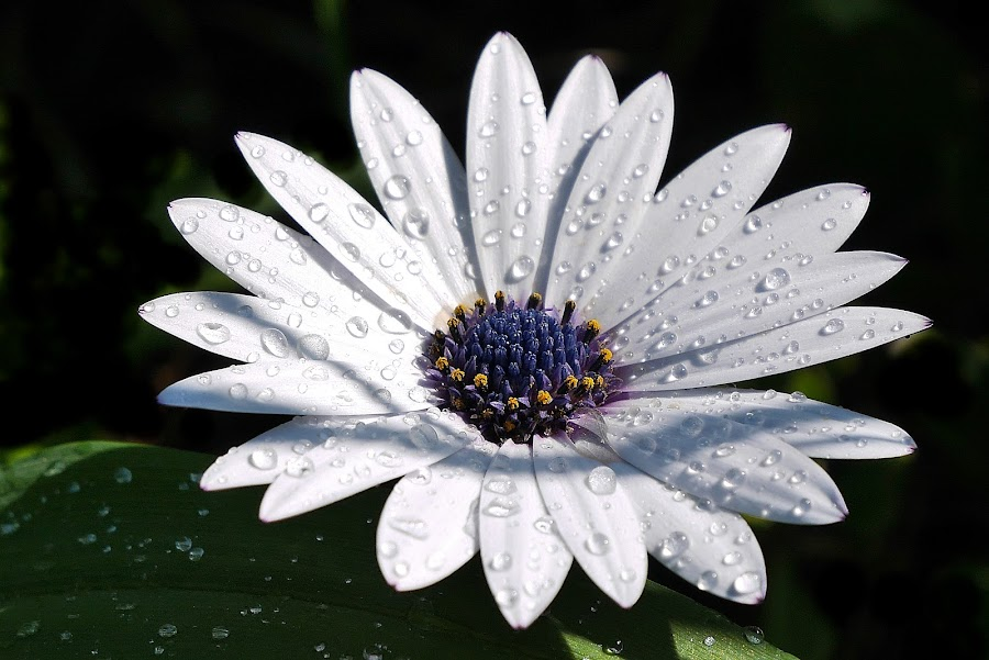 Beautiful Stars by Vanalapha Chuasritrakul - Flowers Single Flower