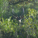 Ciervo (Deer)