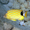 Bluestriped Butterflyfish