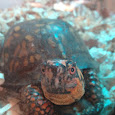 Eastern Box Turtles of Wv, Oh, and Pa