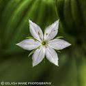 Northern Starflower