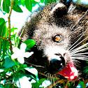 Palawan bear cat