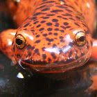 northern red salamander
