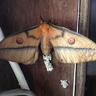 Gum Moth