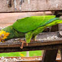 Papagaio-galego(Yellow-faced Parrot)
