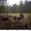 Wild turkey and crow