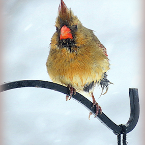 Madder Than A Wet Hen by Ruby Stephens - Animals Birds ( red, cardinal, wet bird, female bird, white background, angry bird, olive )