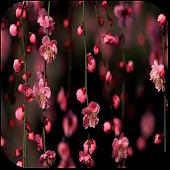 Sakura Blossom Live Wallpaper