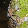 Tree Huntsman Spider