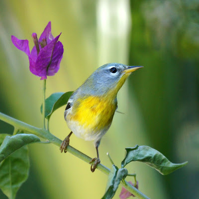 A pretty little Northern Parula near Dunmore Town, North Eleuthera, the Bahamas.