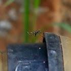 Bush mosquito