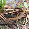 Eastern Newt (red eft)