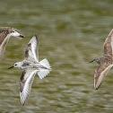 White-rumped Sandpipers (2) & Sanderling