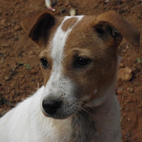 by Mallikarjun Nath - Animals - Dogs Puppies