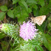 Tiny Skipper on a Thistle Flower