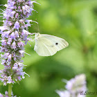 Small Cabbage White Butterfly