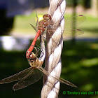 Moustached Darter (couple)