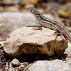 Pallid Curly-tailed Lizard