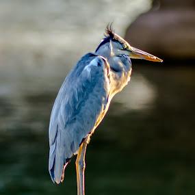 Resting by Luqman Asnawi - Animals Birds (  )