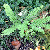 Northern Maiden Hair Fern