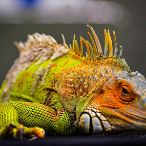 by Ciupe Simona - Animals Reptiles