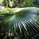 Major Jenkins' Fan Palm