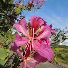 Blake's Bauhinia/Hong Kong Orchid Tree