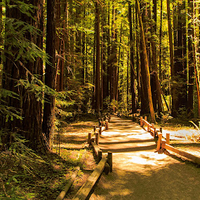 Path thur the Redwood by Troy Snider - Landscapes Forests ( redwoods, pathway, tree, trail, path, forest )