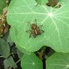 Grass Spider or Funnel Web Spider