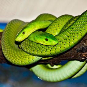 Green Couple... by Edit Peterffy - Animals Reptiles ( nature, green, edit, snakes, dangerous, animal,  )