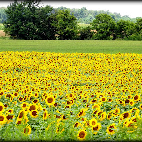 Sunflower fields by Donna Pavlik - Landscapes Prairies, Meadows & Fields (  )