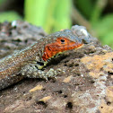 Santa Cruz Lava Lizard (female)