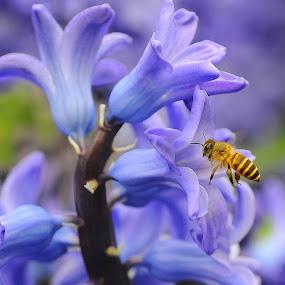 Hyacinthus Orientalis by Leka Huie - Flowers Single Flower ( hyacinthus orientalis.flower, bee, spring, purple flower,  )