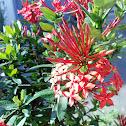 Red Chinese Ixora
