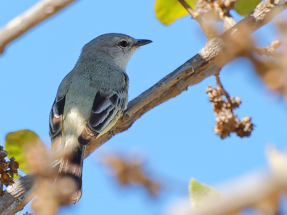 Suiriri-cinzento (Suiriri Flycatcher)