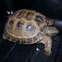Desert Tortoise o