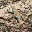 Texas Earless Lizard