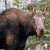 Moose(cow)