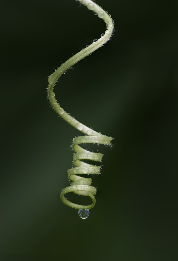 Tendril by Youssef Elboukhari - Nature Up Close Other plants ( canon, plant, tendril, macro, nature, drop, green, plants,  )