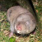 Common Mole Rat