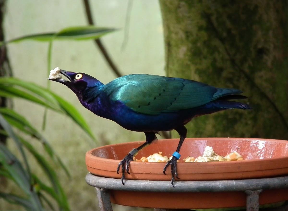 purple glossy starling