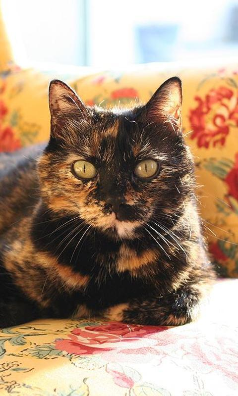 Tortoiseshell cats wallpapers android apps on google play - Images of tortoiseshell cats ...